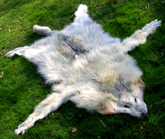 White Wolf Pelt - Full Pic by FossilFeather