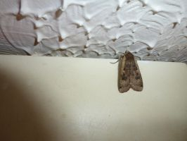 Large Yellow Underwing Moth Study Wall 2 by SrTw