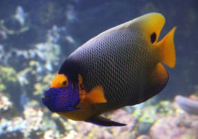 Blueface Angelfish by Firey-Sunset
