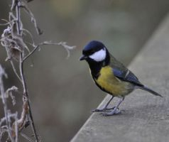 Great Tit by Breezypants