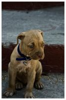 Veri Pitbull III by manos990