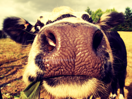 This is a cow nose. by catspaceseven
