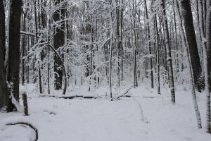 Winter Forest 1 by Salamander-Stock