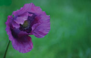 The Purple Poppy by AngiWallace