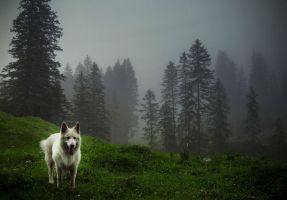 Wolf of the Forests by Notandanavn