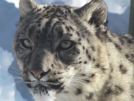 Snow Leopard Stock 15 by HOTNStock