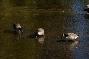 Canada Geese by frisbystock