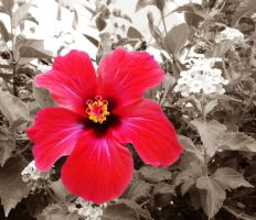 Red Hibiscus by Natashaaaaa