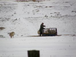 Farmer feeding his sheep by purple-whirlpool