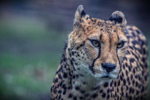 Portrait of a Cheetah by neo1984com