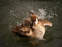 Water Off a Duck's Back by amipal