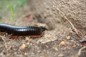 Millipede by FluffyBlueCow