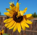 Sunflower 19 by ZiggyStardust201