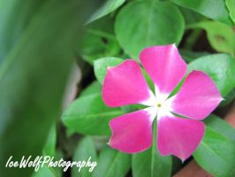 Pretty Pink by IceWolfPhotography