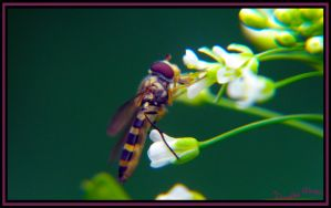 Hoverfly by ObliviousMind