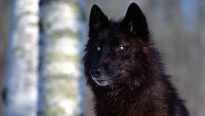 Black Wolf With Blue Eyes by angelmarilena