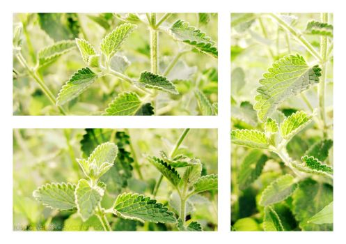 Catmint by rosaarvensis