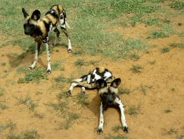 African Wild Dogs II by MorganMortician