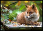 Red Fox 4 by Wolfy2k4