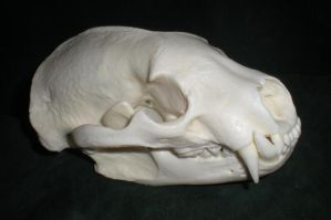 Badger Skull by Minotaur-Queen