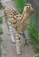 Tautphaus Zoo 65 Serval by Falln-Stock