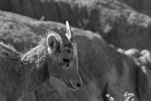 Young Female Bighorn by MikeDaBadger