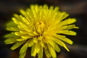 yellow with beads of water by Philatx