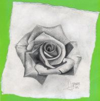 Rosa. by picassophie