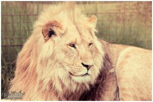 Longleat Lion by Clerdy