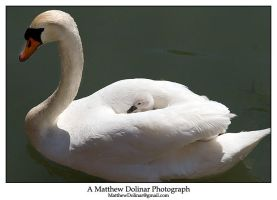 Swans 7 by GetMadBaby