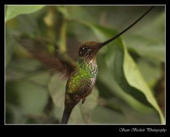 Sword-Billed Hummingbird by seanbeckettvt