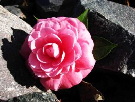 Camellia by TheOrdinary