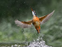 Lady of the lake - common kingfisher by Jamie-MacArthur