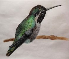 Hummingbird Drawing by brandojones