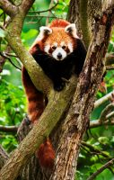 Red Panda I by PictureByPali