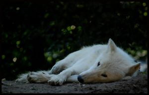 arctic wolf: Im watching you by morho