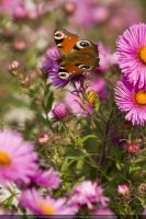 Butterfly on Flower - 2 by theDevil-photography