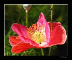 Red Corn Poppy by David-A-Wagner