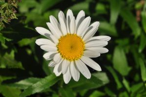 at least I think it's a daisy by xim0nfir3x