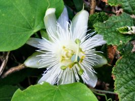 Passion Flower by Dontheunsane