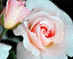 Pink rose blossom and bud by fosspathei