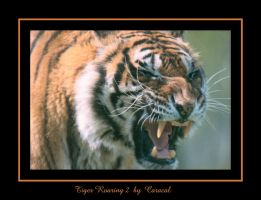 Tiger Roaring 2 by caracal