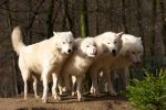 white wolves II by Tygrik