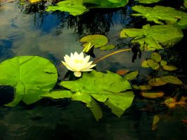 Water Lily by ngm23