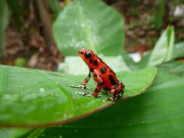 Red Dart Tree Frog by DuderThe1st