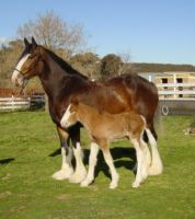 Clydesdale Mare and Foal 2 by How-You-Remind-Me