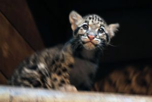 Clouded Leopard Cubs 2 by robbobert