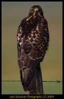 Exorcist Hawk by KSPhotographic