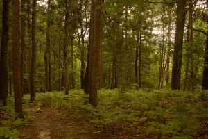 Manistee River High Banks (High Rollaways) Forest2 by toshema