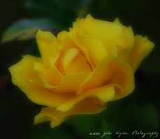 Yellow Rose 2 by kaiack
